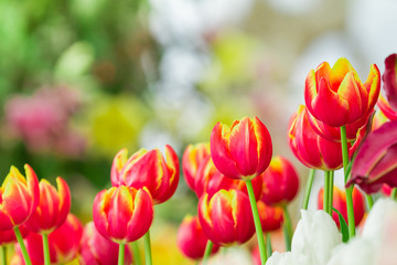 colorful of tulip flower with nature background