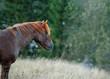 Obrazy na płótnie, fototapety, zdjęcia, fotoobrazy drukowane : Portrait of horse with grass in the mouth
