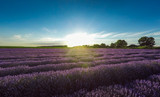 Fototapety Sunset over beautiful lavender field, aerial view