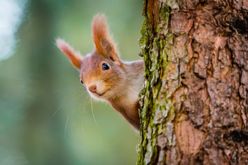 Curious red squirrel peeking behind the tree trunk