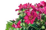 fiori di cineraria
