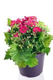 cineraria fiorita in vaso
