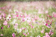Beautiful cosmos flower with rain, vintage style