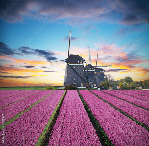 Vibrant tulips field with Dutch windmill