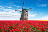 Fototapety Vibrant tulips field with Dutch windmill