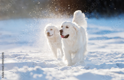 Poster golden retriever dog walking in the snow