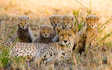 Mother cheetah and her cubs in the savannah. Kenya. Tanzania. Africa. National Park. Serengeti. Maasai Mara. An excellent illustration. - 100367649
