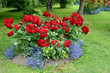 Obrazy na płótnie, fototapety, zdjęcia, fotoobrazy drukowane : The blossoming red park rose and blue lobelias. A flower bed in