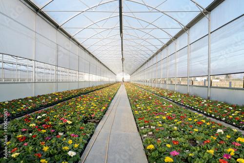 coltivazione primule vivaio serra