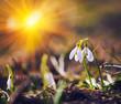 Obrazy na płótnie, fototapety, zdjęcia, fotoobrazy drukowane : Spring snowdrop flowers blooming in sunny day