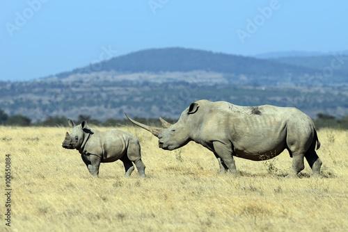 White Rhino in Kenya