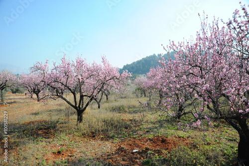 Poster Mandelblüte in Spanien