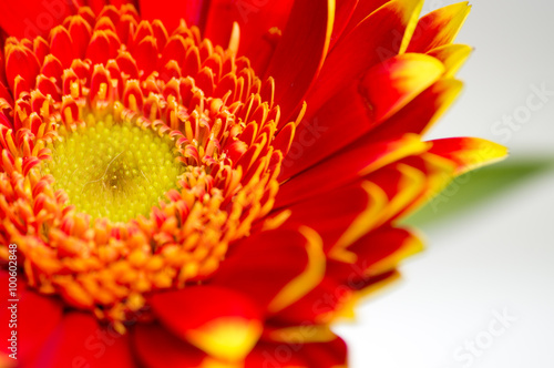 mata magnetyczna Red gerbera macro out of a bouquet