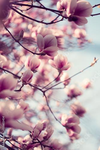 Beautiful pink magnolia flowers