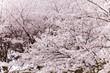 Obrazy na płótnie, fototapety, zdjęcia, fotoobrazy drukowane : 満開の桜