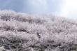 Obrazy na płótnie, fototapety, zdjęcia, fotoobrazy drukowane : 雲と桜