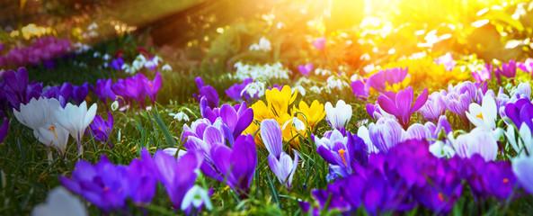 Krokusse in der Frühlingsonne