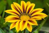 Gazania flower in yellow and brown colors in the garden