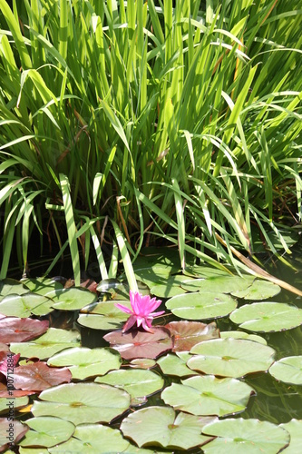 Obraz na Plexi Beautiful Water Lily Pond at Isola Madre, Italy