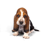 Basset hound puppy sits on a white background