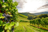 Fototapety Vines in a vineyard in autumn - Wine grapes before harvest