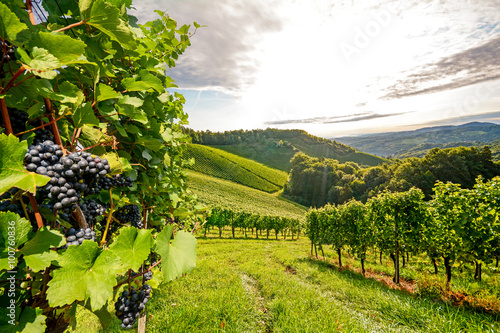 Vines in a vineyard in autumn - Wine grapes before harvest Poster