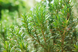 close up of  green rosemary leaves in agriculture plantation wit - 100797880