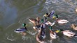Feeding of ducks on water surface. Waterfowl farm, agriculture on Czech countryside. European Union.
