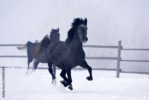 Fototapeta Beautiful horse running in winter