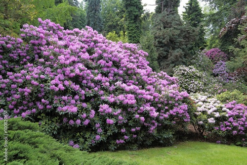 Fotobehang Azalea Rhododendron.