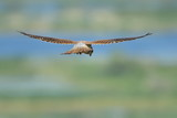 Common Kestrel in flight (falco tinnunculus)