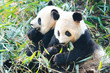 Two Panda Bears eating bamboo, sitting side by side, China