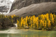 Golden larch trees on the shore of an alpine lake in Yoho National Park, British Columbia, Canada