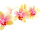 Fototapety Orchidee vor weißem Hintergrund