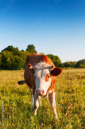 Aluminium A cow grazing in a meadow.