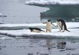 Adelie Penguins on Ice Floe in Antarctica