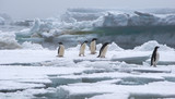 Adelie Penguins on Ice Floe in Antarctica