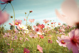 Fototapeta Kosmos - Cosmos flower blossom in garden © wittybear