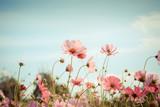 Cosmos flower blossom in garden © wittybear