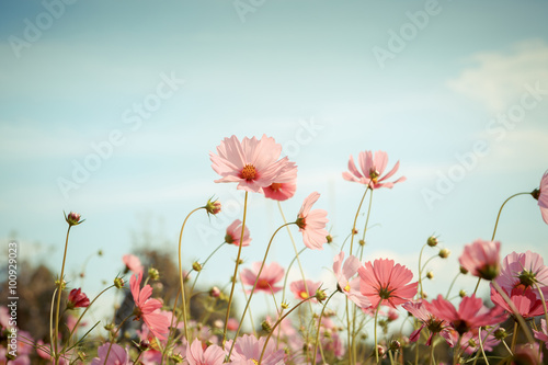 Poster, Tablou Cosmos flower blossom in garden