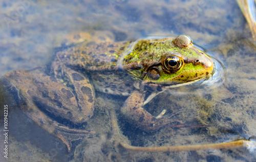 Foto op Plexiglas Krokodil Frog
