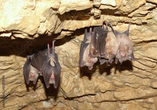 Poster Lesser Horseshoe Bat (Rhinolophus hipposideros)