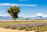 lavender field with a tree, Plateau de Valensole, Provence, Fran