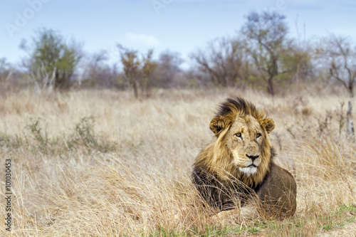 obraz PCV Lion in Kruger National park