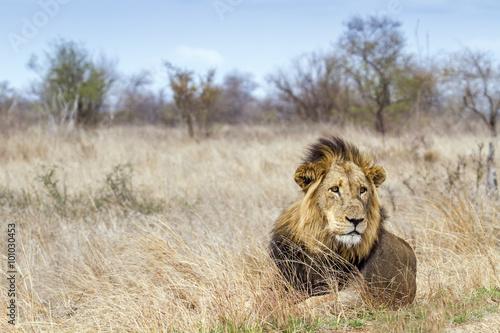 fototapeta na ścianę Lion in Kruger National park