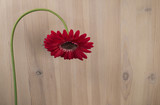 single bent down red gerbera flower on light wooden background