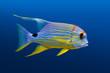 Sailfin snapper