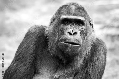 Black and white portrait of an adult female gorilla - 101065621