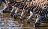 Group of zebras drinking water from the river. Kenya. Tanzania. National Park. Serengeti. Maasai Mara. An excellent illustration.
