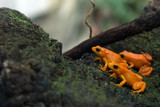 Golden mantella frog of Madagascar